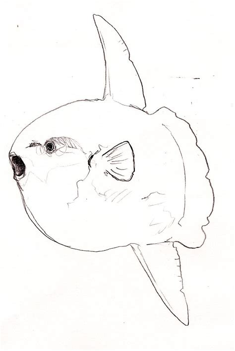 sunfish coloring page image gallery sunfish drawing