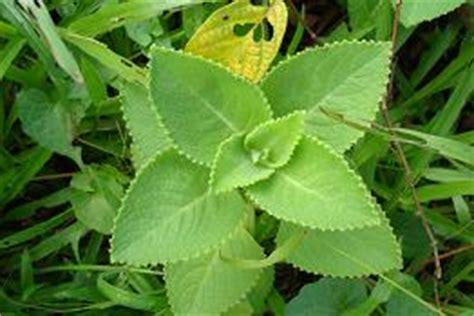 Tanaman Obat Untuk Batuk Kronis tanaman tanaman obat herbal