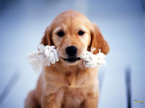 puppy wallpaper hd all wallpapers beautiful hd wallpapers