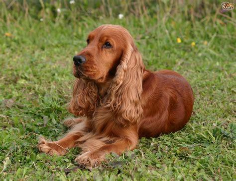 Cocker Spaniel Dog Breed Information, Buying Advice ...