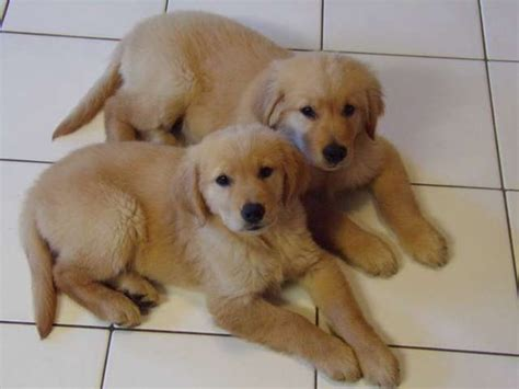 golden retriever to buy how to buy a golden retriever puppy
