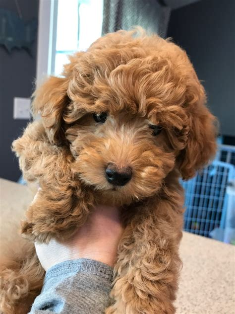 how much are goldendoodle puppies goldendoodle puppies goldendoodle mini goldendoodle for sale