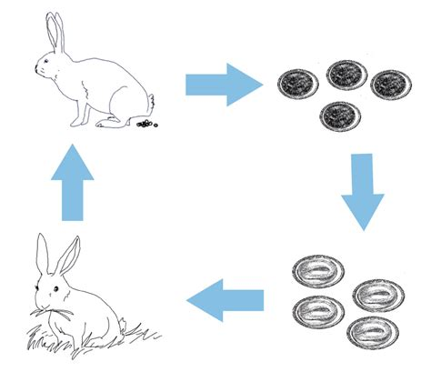 imagen para colrear del ciclo de vida conejo ciclo de vida de un conejo en dibujos dibujos del ciclo