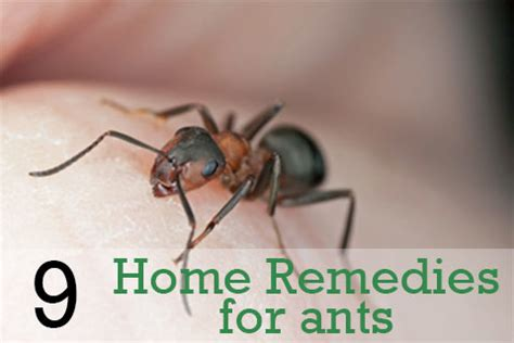 home remedies for ants 9 tips you should try