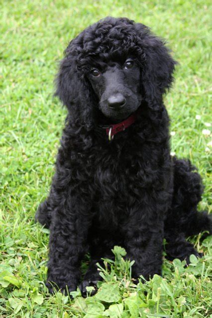 Do Standard Poodles Shed by They Are Intelligent Don T Shed Pack Animals And
