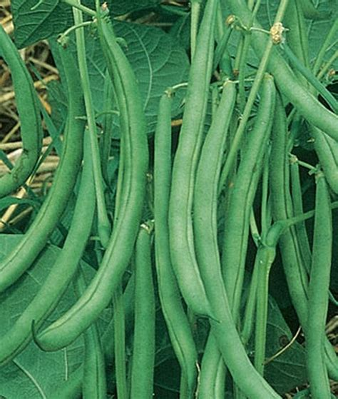 types of garden beans contender green bean seeds yields of excellent