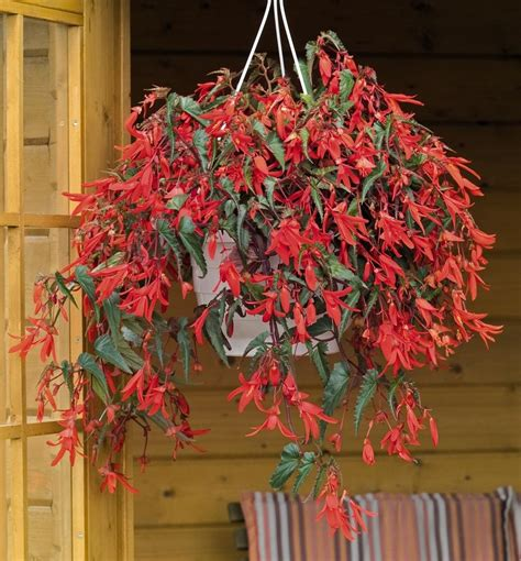 Unilock Pavers Dealer Shade Hanging Baskets Hanging Baskets Annuals Plants