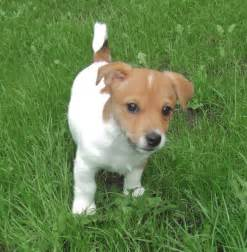 Jack russell terrier puppy collection picture frames