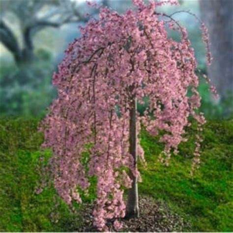 2 cherry tree groveland ma weeping cherry tree