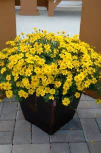 bidens yellow sun trailing plant