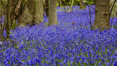 home improvement and design expo canterbury park bluebells in london and the south east national trust