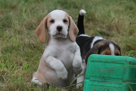 white beagle puppies k c reg white beagle puppies spalding lincolnshire pets4homes