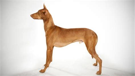 types of hound dogs pharaoh hound breed selector animal planet