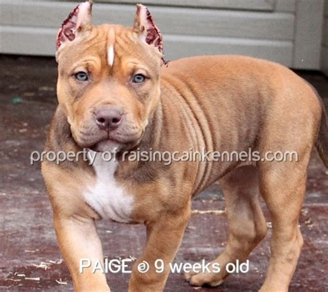 local pitbull puppies for sale nose pitbull puppies for sale go search for tips tricks cheats