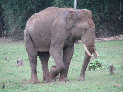 elephant biography in hindi indian elephant