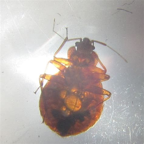 how do bed bugs breed how to get rid of bed bugs