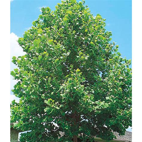 what does the sycamore tree symbolize ehow image gallery sycamoretree