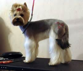 yorkie photos haircuts explore yorkie haircuts pictures and select the best style