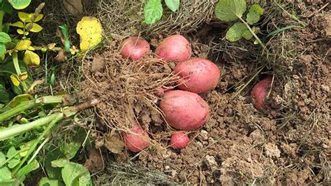 Potato Investment by Potato Investing California Investment Network