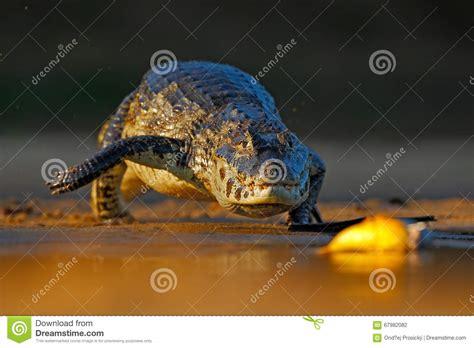 Caimano Di Yacare Piranha Del Pesce Di Caccia Del
