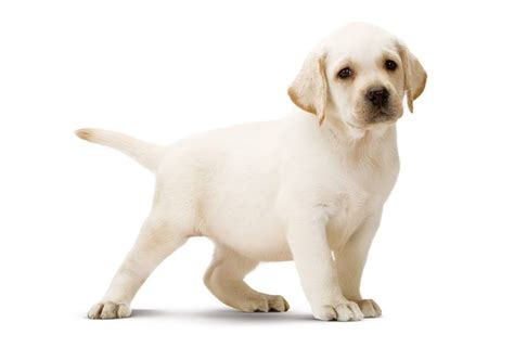 golden retriever appartamento race de chien wikichien