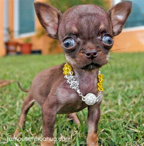 the tiniest puppy in the world chihuahua now the smallest in the world chihuahua
