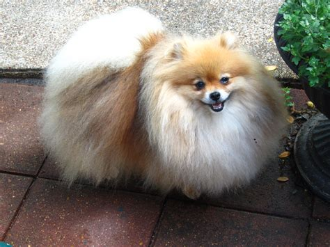 pomeranian puppy breeder pomeranian puppies for sale in florida poofy poochies
