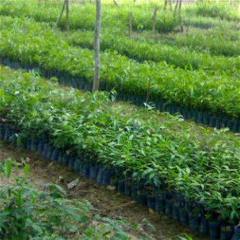 Jual Bibit Bambu Di Bandung Bibit Gaharu Jual Bibit Gaharu Di Bandung