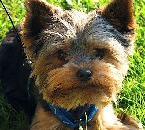types of haircut for yorkies yorkie pics haircuts google search elis pinterest