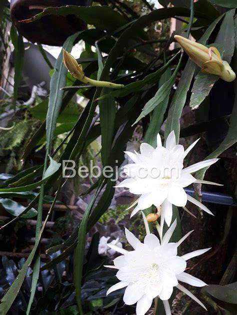 mitos  khasiat bunga wijayakusuma foto bebeja foto