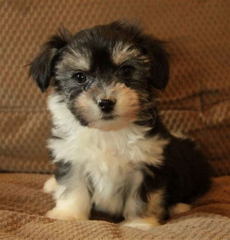 havanese breeders ontario 203 best puppies images on babies golden retrievers and