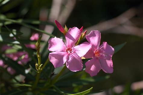 fiori polinesiani i fiori della polinesia francese viaggi vacanze e