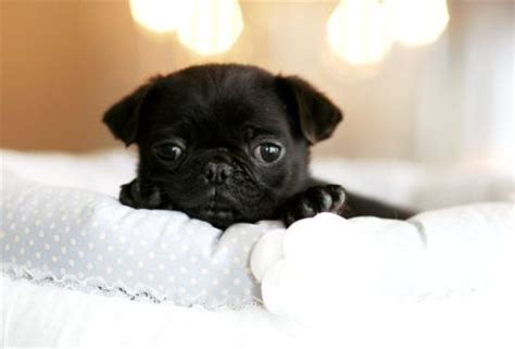 i want a pug teacup pug pug and i want on