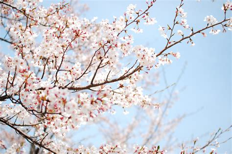 wallpaper cherry tree blossom sakura flower spring