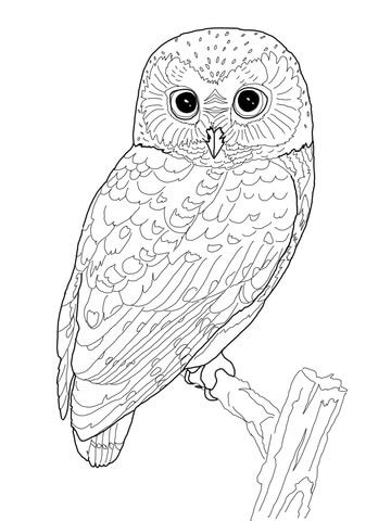 spotted owl coloring page northern saw whet owl coloring page supercoloring com