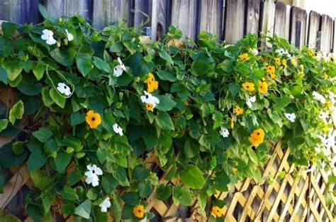 fast growing climbing plants for trellis vines black eyed susan vine and black eyed susan on