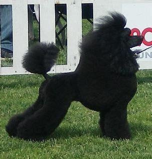 diffrent cuts for toy poodles poodle cuts for dogs poodle cuts pictures of different