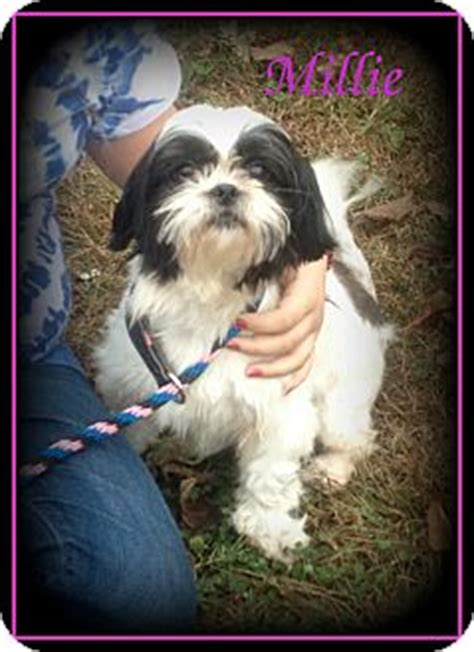 shih tzu puppies rescue nc millie adopted denver nc shih tzu