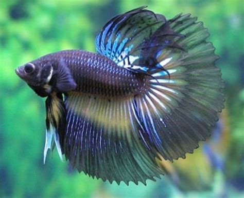 Best Aquarium My Fish Cleaning Tank Betta Cupang 87 best images about ornamental fishes on neon tropical fish and aquarium setup