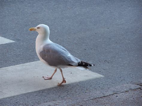 file adapted seagull jpg wikimedia commons
