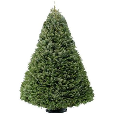 5 ft 7 ft fresh cut grand fir christmas tree in store