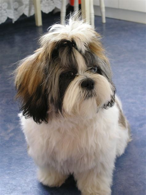 what is a shih tzu puppy plik shih tzu fibi jpg wolna encyklopedia