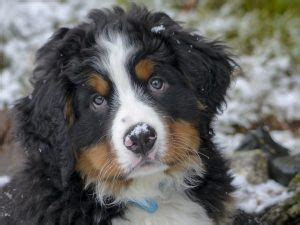bernese mountain cost all about bernese mountain dogs temperament cost more