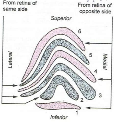 supplement knowledge visual pathway supplement knowledge epomedicine