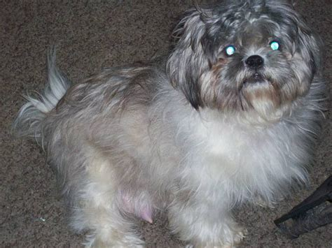 shih tzu for adoption in florida aca shih tzu pups for sale adoption from palm bay florida brevard adpost