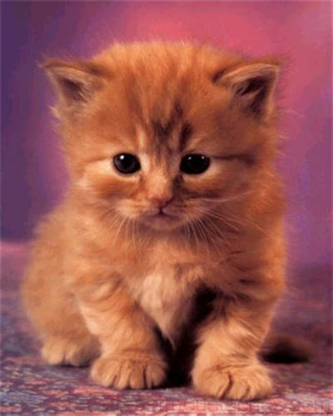 chats rooms chaton trop mignon related keywords chaton trop mignon keywords keywordsking
