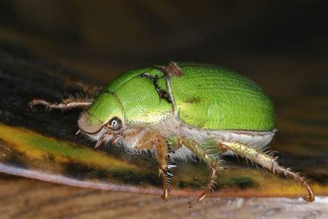 imagenes de insectos verdes pescando con mosca sitio dedicado a la pesca con mosca