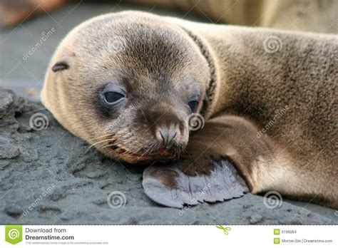 sea puppy sea puppy galapagos stock images image 5166084