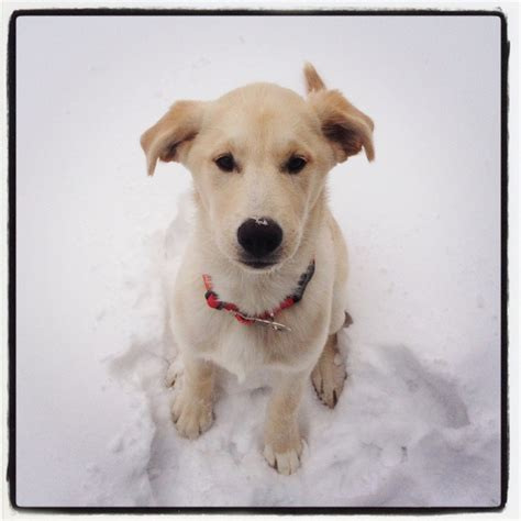 yellow lab mixed with golden retriever golden retriever yellow lab mix puuupppieees