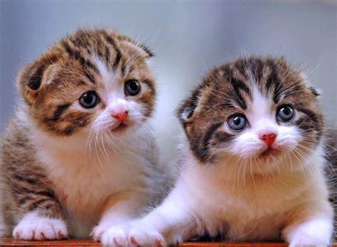 wallpaper anak kucing imut hewan lucu 2016 hewan kucing persia images